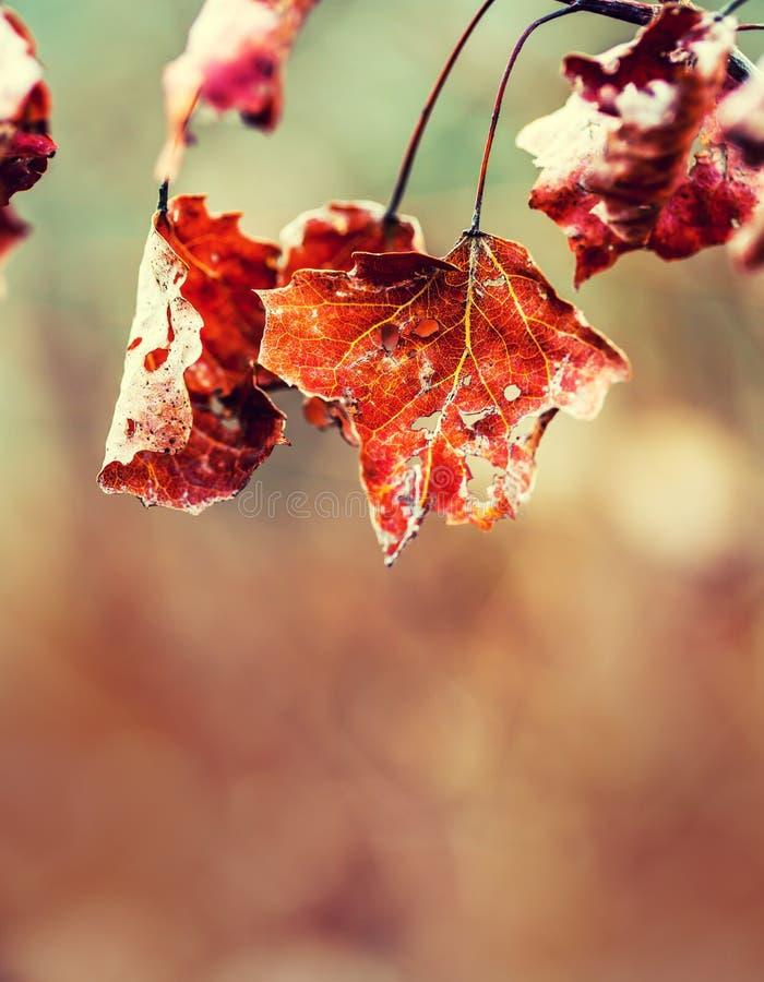 Кленовые листы льда утра замороженного заморозка осени холодные Замороженные листья осени на ветви стоковое фото rf