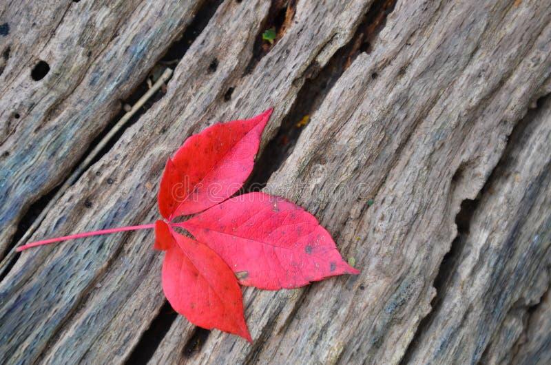Кленовый лист одиночной осени красный на старом пне дерева стоковые изображения