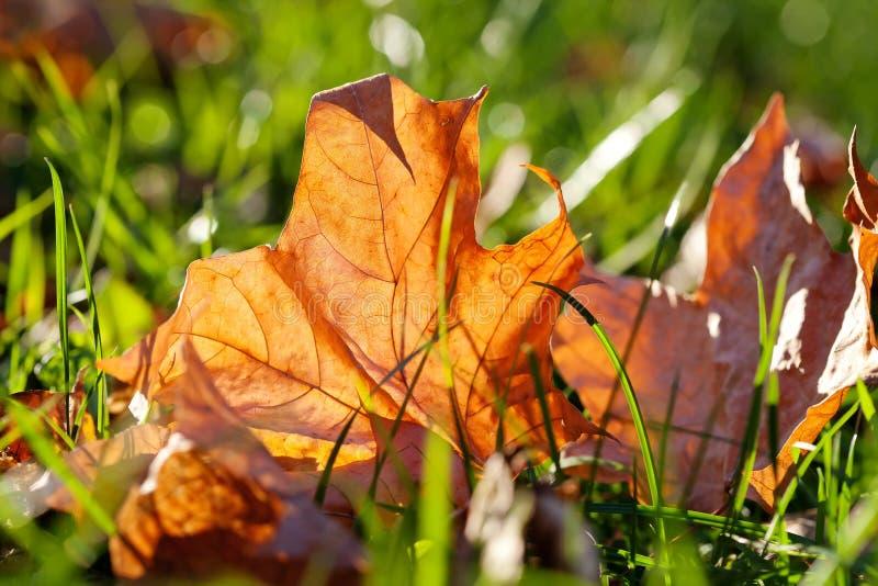 клен листьев зеленого цвета травы Сцена парка осени фокус взгляда макроса мягкий стоковая фотография