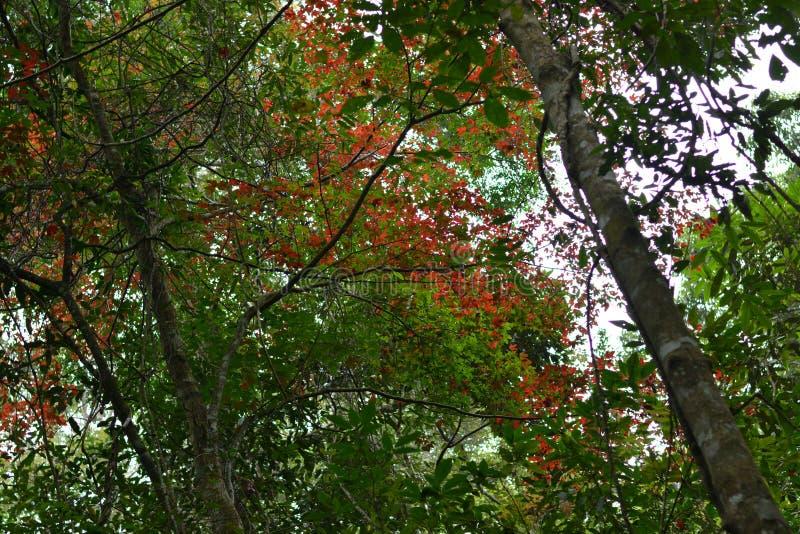 Клен, лист, Phukradueng, Loei стоковые фото