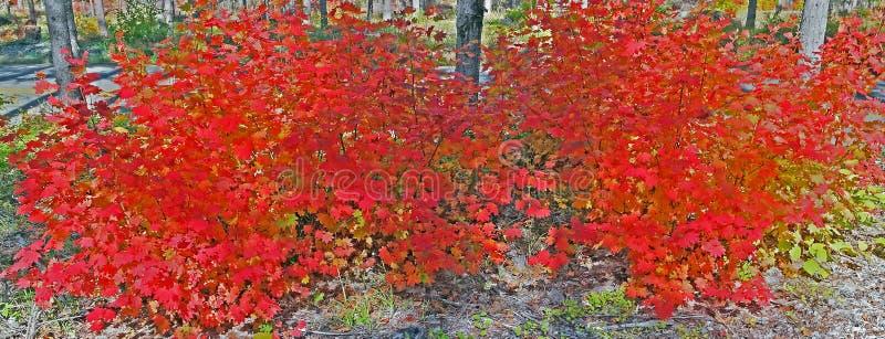 Клен лозы - гениальная красно- панорама стоковое фото