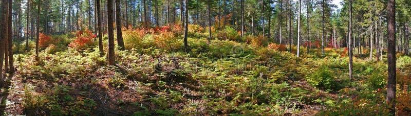 Клен лозы - панорама цвета падения стоковые изображения rf