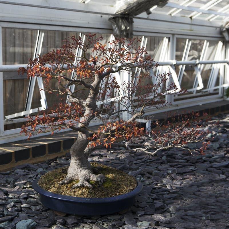 Клен ` Deshojo ` acer Palmatum бонзаев японский красный в Londo стоковая фотография