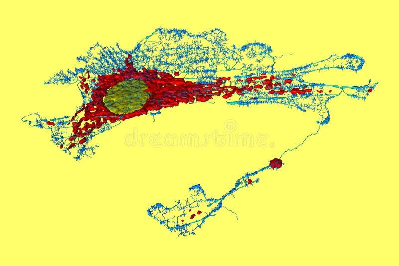 Клетка фиброцита иллюстрация вектора