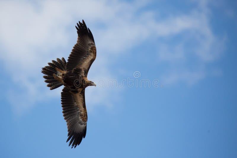 Клин-замкнутый орел в полете стоковая фотография