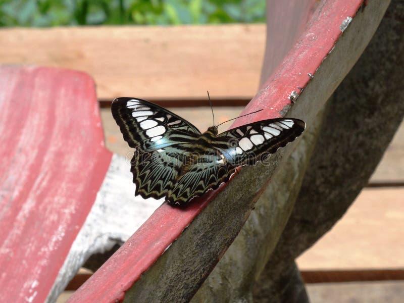 Клипер бабочки (apicalis Parthenos sylvia) стоковая фотография rf