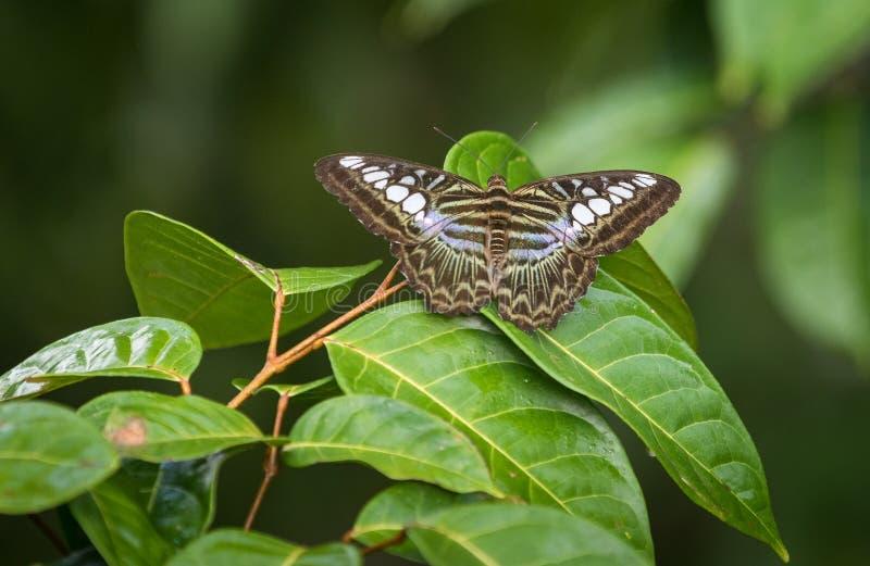 Клипер, Parthenos sylvia, вид бабочки nymphalid стоковая фотография