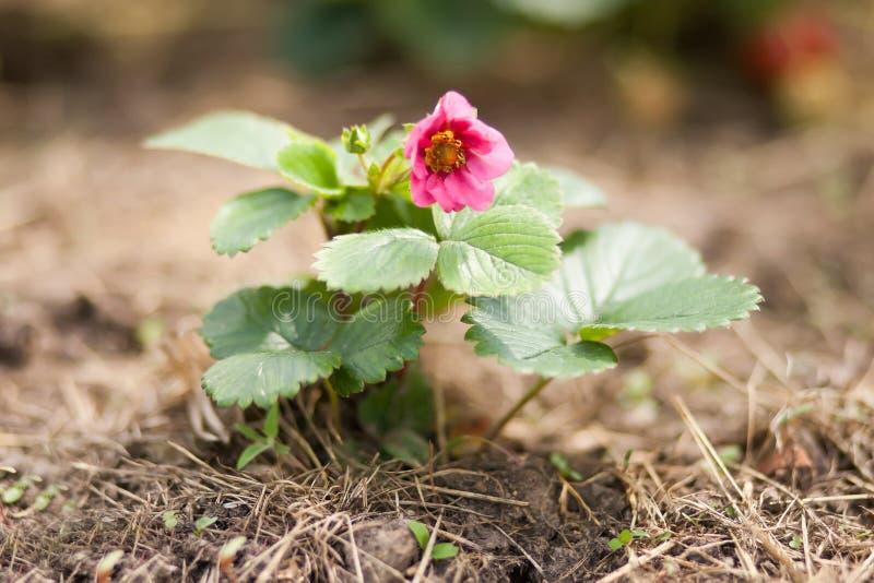 Клубника зацветая, розовый цветок стоковая фотография rf