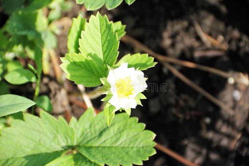 Клубники цветочного сада в предыдущей весне стоковые изображения rf