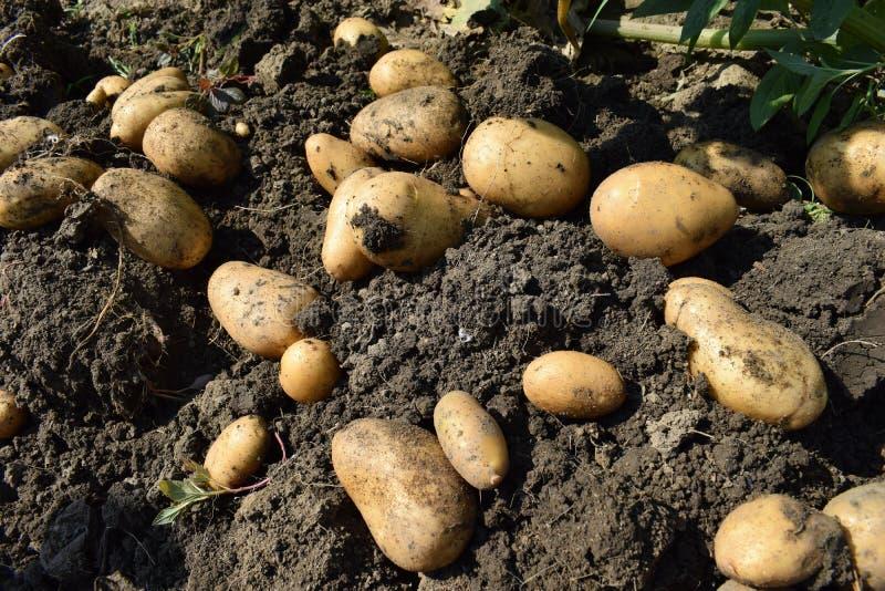 клубни картошки путя клиппирования предпосылки белые стоковые фотографии rf