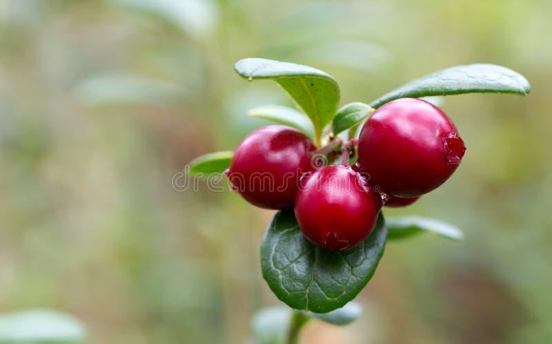 Клюквы ягод в древесинах на зеленом черенок стоковые фотографии rf