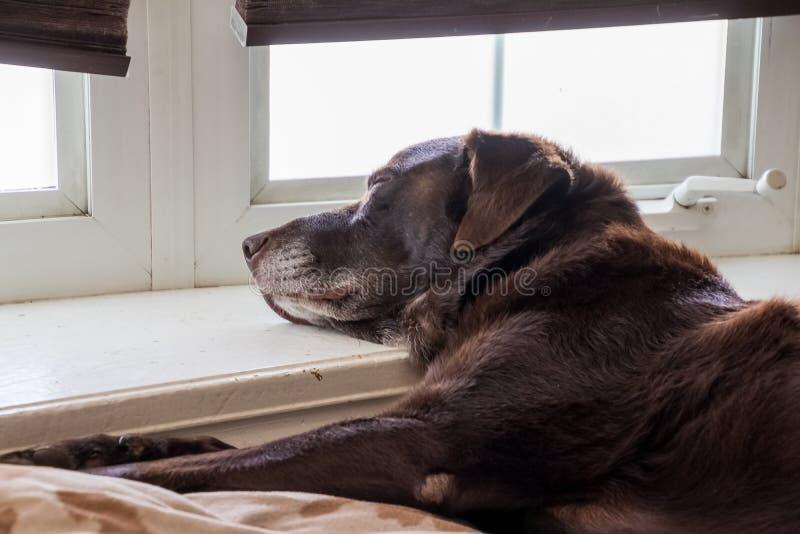 Лаборатория шоколада спать по мере того как он ослабляет в его доме стоковая фотография rf