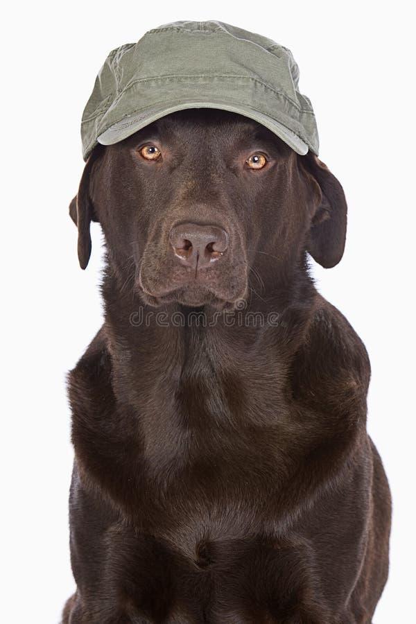 Лабрадор в зеленой бейсбольной кепке стиля армии стоковое фото