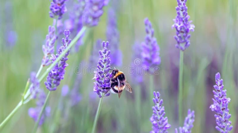 Лаванда Зацветая пурпурные цветки лаванды и зеленая трава в лугах или полях Шмель на цветке сирени стоковые изображения