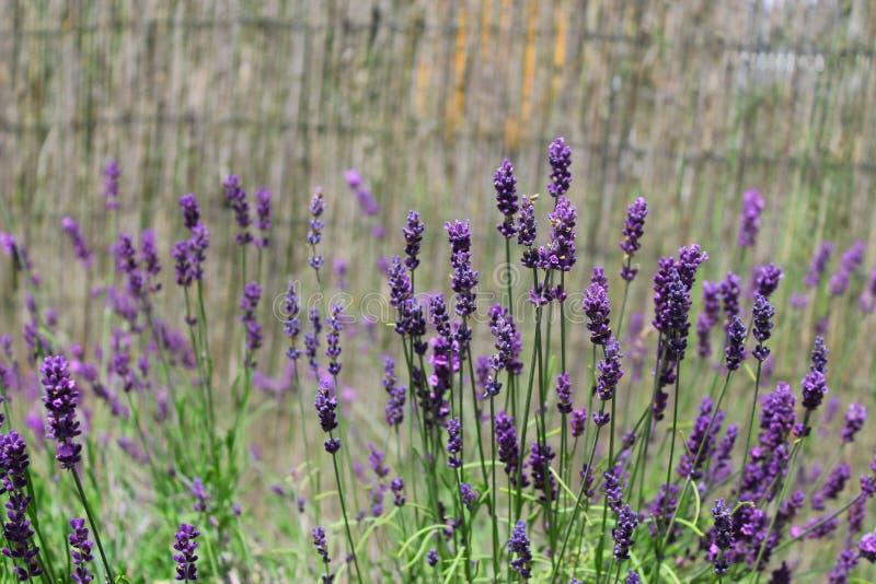 Лаванда образовывает в цветении на watted загородке стоковое изображение