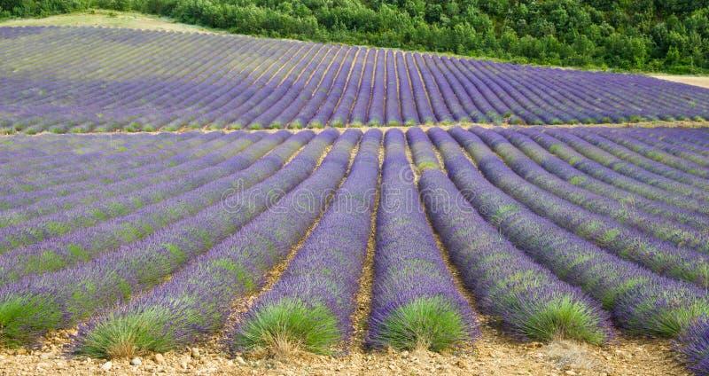 лаванда Провансаль Франции поля стоковая фотография rf