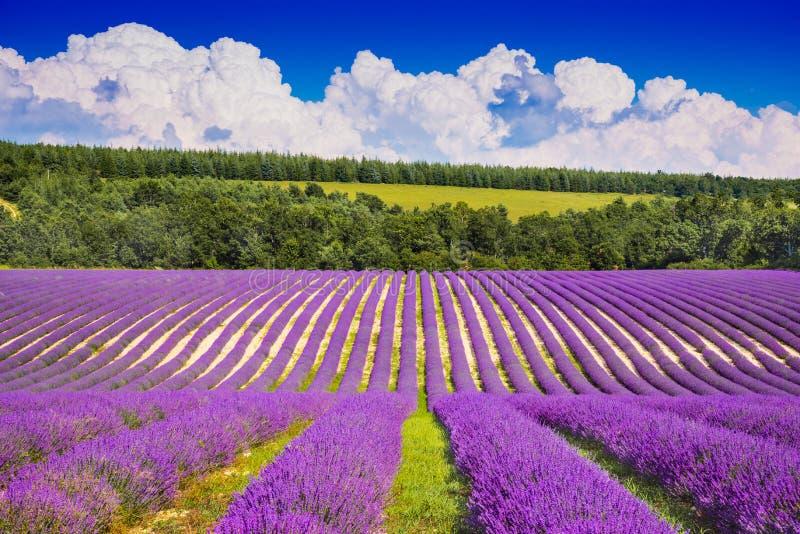 лаванда Провансаль Франции поля стоковая фотография