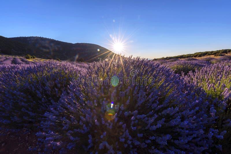 Лаванда цветет в Kuyucak, Isparta, Турции Солнечный свет на ce стоковая фотография