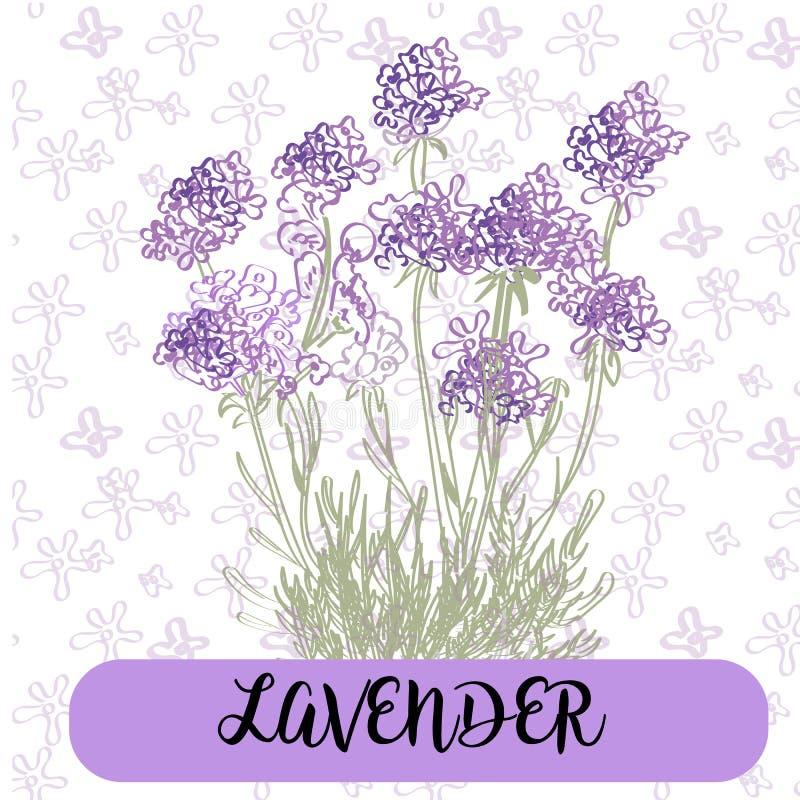 Лаванда цветет элементы средства Собрание лаванды цветет на белой предпосылке Пачка иллюстрации вектора иллюстрация штока