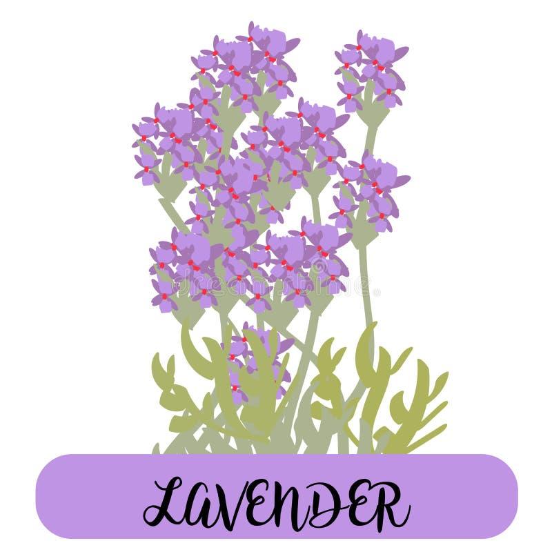 Лаванда цветет элементы средства Собрание лаванды цветет на белой предпосылке Пачка иллюстрации вектора бесплатная иллюстрация
