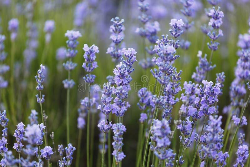 Лаванда, цветорасположение, пурпур, завод, шалфей, sagenutmeg, небо, весна, чай, фиолет, летнее время, Провансаль стоковое фото rf