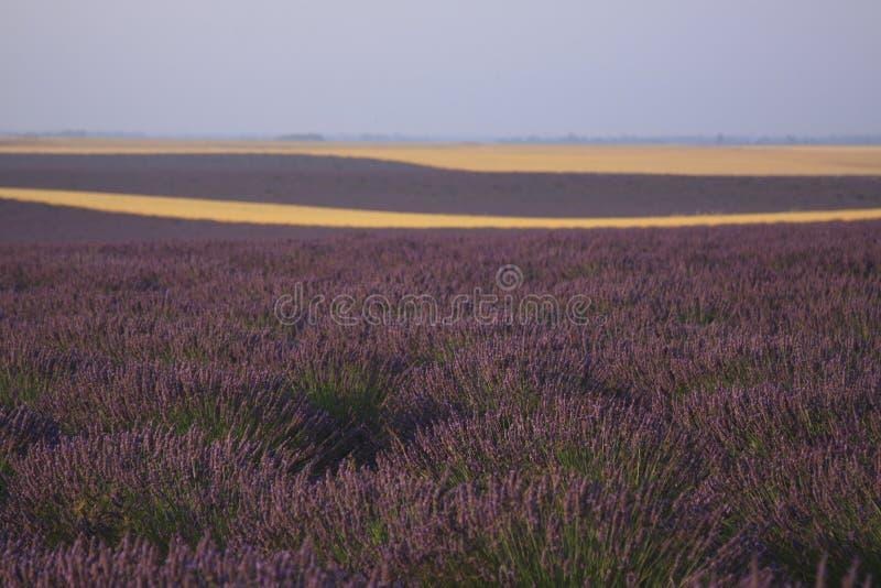 Лаванда и пшеничное поле Valensole, Провансали стоковые изображения