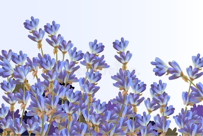 Лаванда на белой предпосылке Цветки вектора детальные реалистические иллюстрация штока