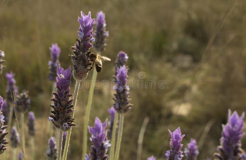 Лаванда пчелы опыляя стоковые фото