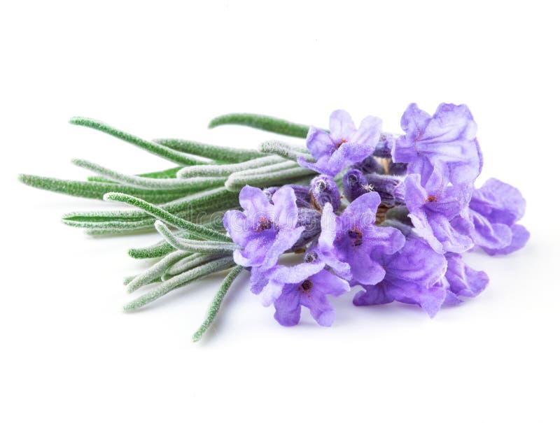 Лаванда. Цветки изолированные на белизне стоковое фото