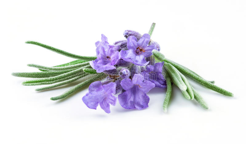 Лаванда. Цветки изолированные на белизне стоковые фотографии rf