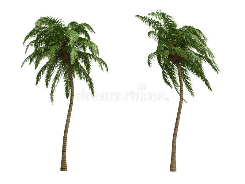 ладони кокоса