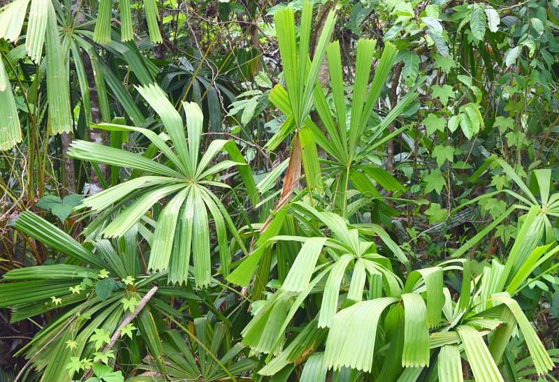 Ладонь вентилятора мангровы или ладонь удачи - Licuala Spinoa от семьи пальмовые - флора и лес в островах Andaman Nicobar, Индии стоковая фотография rf