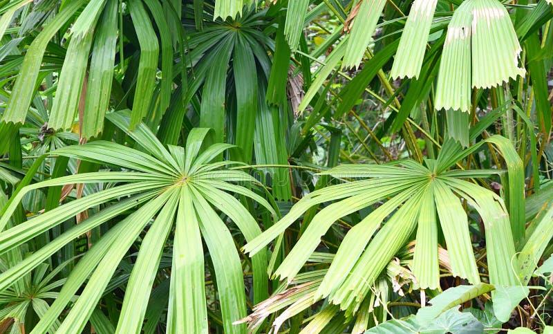Ладонь вентилятора мангровы или ладонь удачи - Licuala Spinoa от семьи пальмовые - флора и лес в островах Andaman Nicobar, Индии стоковое изображение