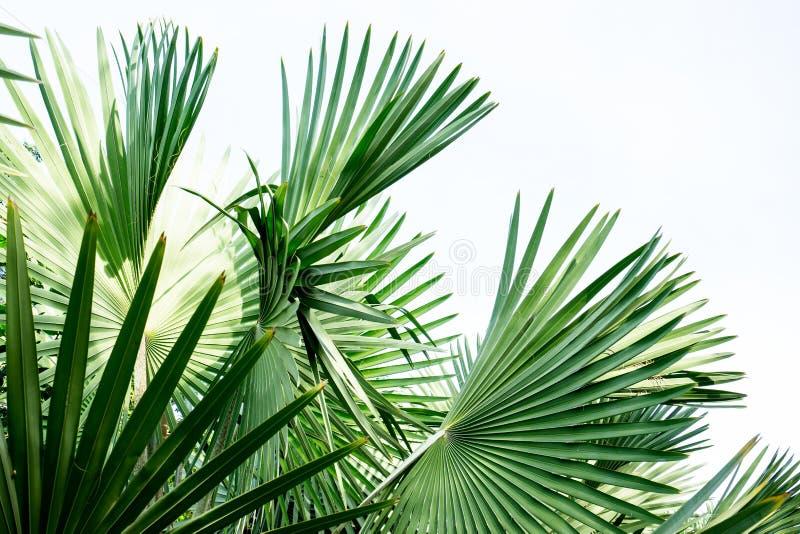 Ладонь вентилятора Фиджи стоковые фото