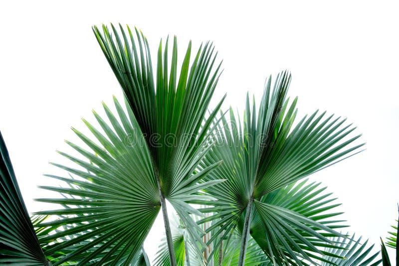 Ладонь вентилятора Фиджи стоковая фотография rf