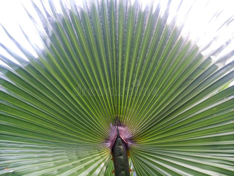 Ладонь выходит зеленый фон Предпосылка пальмы крупного плана стоковое фото