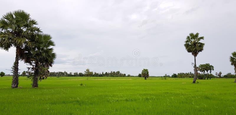 ладонь в поле риса стоковое фото rf