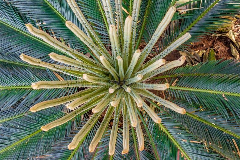 Ладонь саго, листья завода Cycas новые, arial взгляд стоковая фотография rf