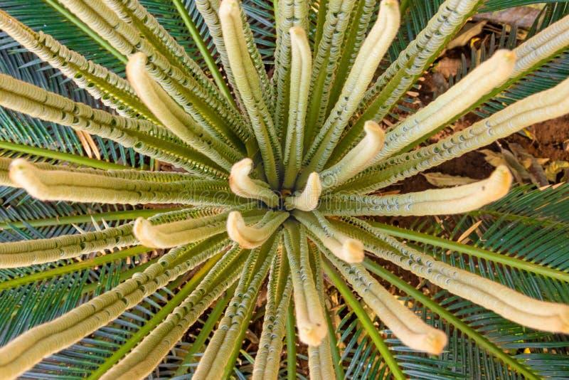 Ладонь саго, листья завода Cycas новые, arial взгляд стоковое изображение