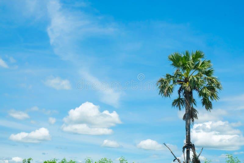 Ладонь сахара с небом поля риса голубым стоковое изображение
