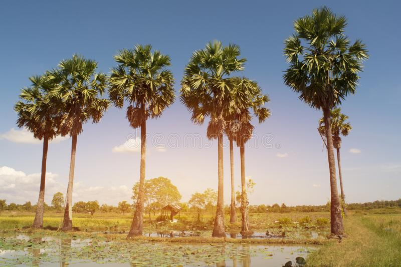 Ладонь, сахар, Мьянма, поле, дерево, страна, Вьетнам, небо, природа стоковое фото