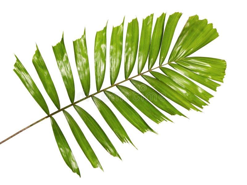 Ладонь Macarthur выходит или macarthurii Ptychosperma, тропическая листва изолированная на белой предпосылке стоковое фото