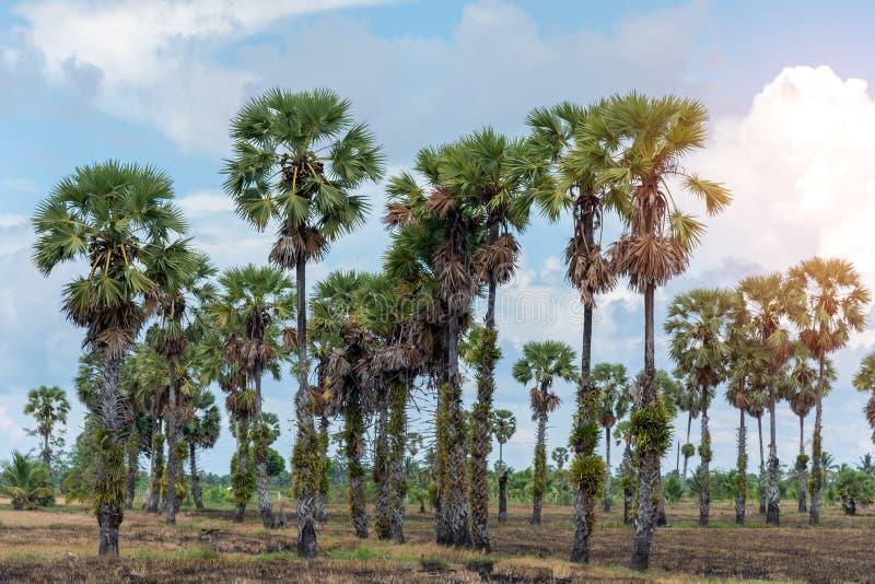 Ладонь Toddy, взгляд ландшафта пальмы сахара с голубым небом стоковые изображения rf