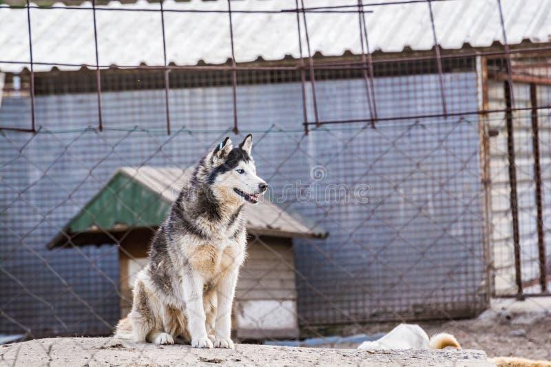 Лайка в укрытии собаки в Сербии, Европе стоковое изображение