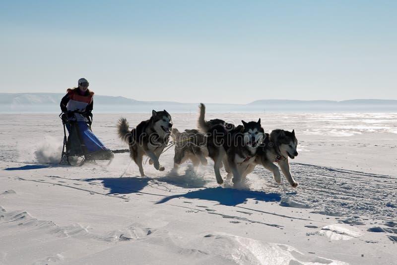 Лайка гонки собаки скелетона в зиме стоковое изображение rf