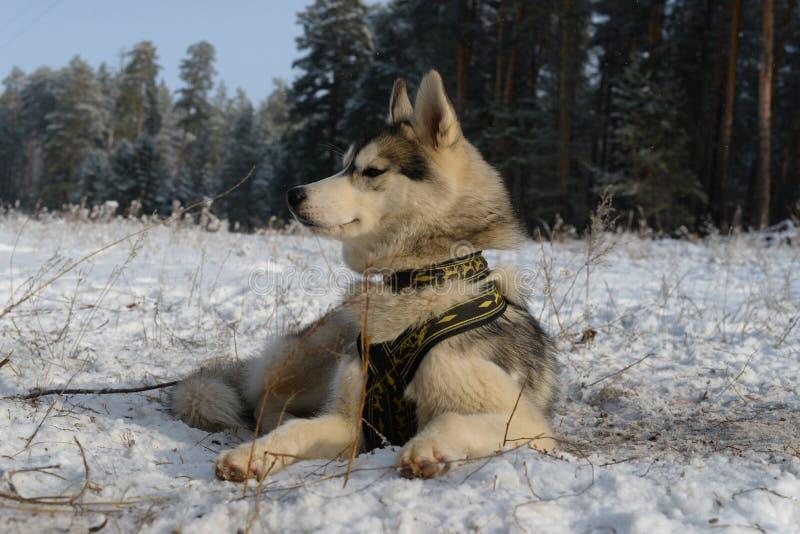 Лайка гордой породы собаки сибирская лежа в снеге стоковые изображения rf
