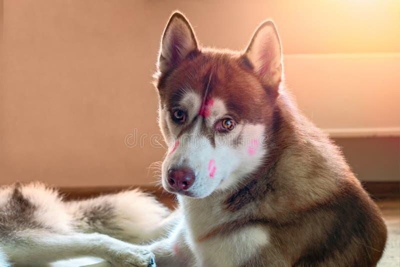 Лайка портрета коричневая сибирская с красным поцелуем меток губной помады на голове Осиплая собака смотря камеру стоковое изображение