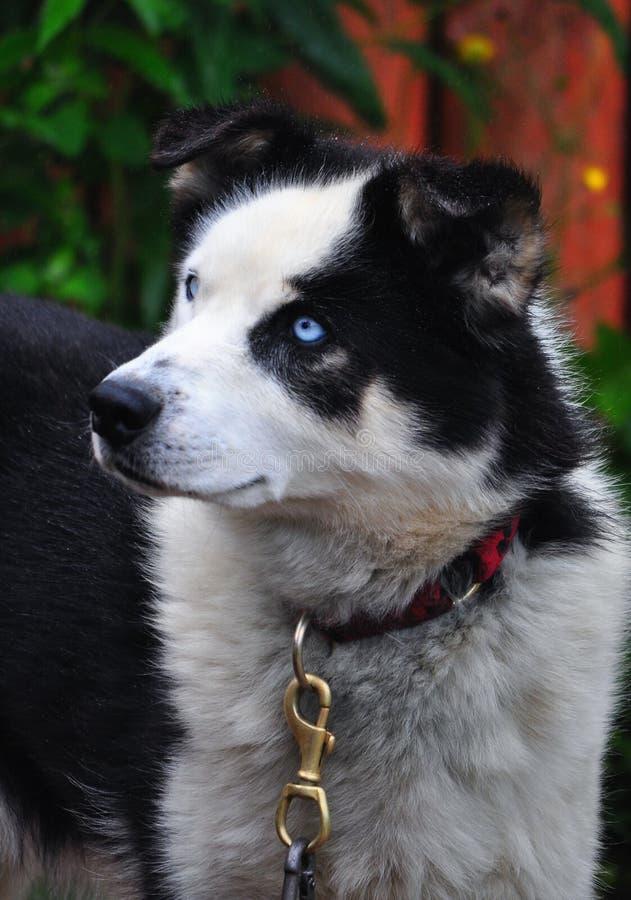 Лайка с голубыми глазами с черными ушами и белым намордником стоковые изображения rf