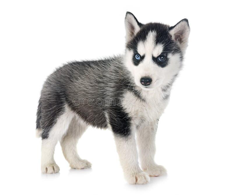 Лайка щенка сибирская стоковое изображение