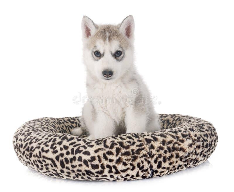 Лайка щенка сибирская стоковое изображение rf